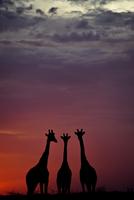 Giraffe (Giraffa camelopardalis) three standing together, si