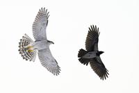 Northern goshawk (Accipiter gentilis) chasing a Hooded crow