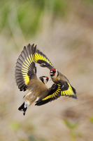 Goldfinches (Carduelis carduelis) squabbling near seed feede