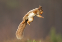 Red squirrel (Sciurus vulgaris) jumping, holding a nut in it