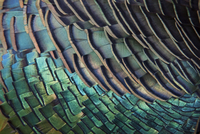 Detail of Ocellated Turkey (Meleagris / Agriocharis ocellata