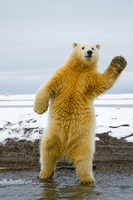 Young Polar bear (Ursus maritimus) standing and trying to ba