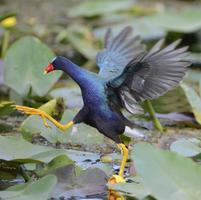 Purple gallinule (Porphyrio martinica) moving across waterli
