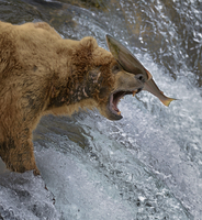 Salmon landing on  head of Grizzly bear (Ursus arctos horrib