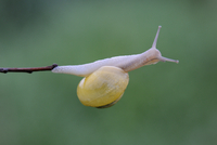 Garden / Grove Snail (Cepaea nemoralis) on twig. Vosges, Fra