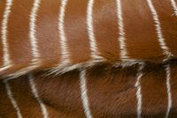 The Eastern or Mountain Bongo (Tragelaphus eurycerus isaaci)