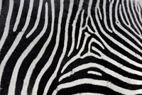 Grevy's zebra (Equus grevyi) close-up of coat, Ol Pejeta Con