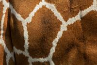 Reticulated giraffe (Giraffa camelopardalis reticulata) Ol P