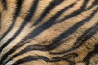 Sumatran tiger (Panthera tigris sumatrae) close up of skin p