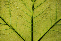 Close up of a Plane tree (Platanus) leaf showing veins, Lorr