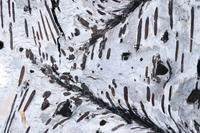 Silver birch bark (Betula pendula) close-up of patterns in b