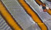 Long-beaked Coralfish (Chelmon rostratus) eye, Inanuran Isla