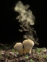 Common Puffball fungus (Lycoperdon perlatum) emitting spores