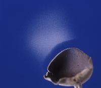Cap fungus (Helvella macropus) showing spore dispersal patte