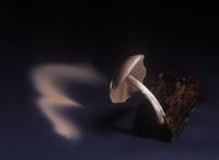 Fawn shield-cap fungus (Pluteus cervinus)showing spore dispe