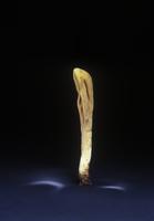 Giant club fungus (Clavariadelphus pistillaris) showing spor