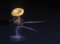Common funnel cap fungus (Clitocybe gibba) showing spore dis