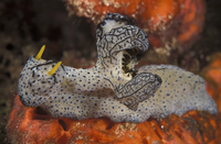 Nudibranch {Notodoris serenae} Indo-Pacific