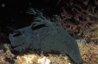 Nudibranch {Nembrotha sp} Indo-Pacific