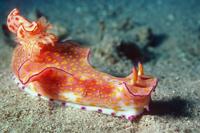 Nudibranch {Ceratosoma tenue} Egypt, Red Sea.