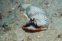 Nudibranch {Armina cygnaea} on seabed, Papua New Guinea.