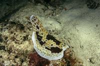 Sea slug (Pleurobranchus grandis) Indo Pacific