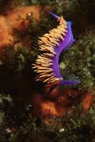 Nudibranch (Flabellina iodinea) in the Channel Islands, pacific, California, USA