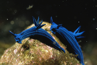 Pair of Blue striped nudibranch {Tambja mullineri} Galapagos