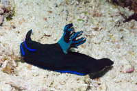 Nudibranch {Tambja morosa} Komodo, Indonesia.