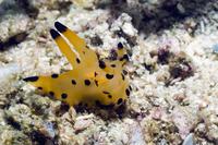 Nudibranch (Thecacera sp) Rinca, Indonesia