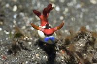 Nudibranch {Nembrotha chamberlaini} Rinca, Indonesia