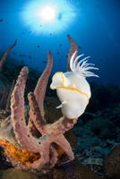 Nudibranch (Ardeadoris egretta) on a sponge, Indo-pacific
