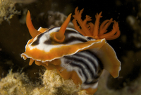 Nudibranch (Chromodoris magnifica) crawling over the reef. Malapascua Island. Visayan Sea, Philippines