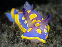 Nudibranch (Chromodoris luteorosea) crawls across the seabed searching for food. Punto Saline, Olbia, Sardinia, Italy. Tyrrhenia