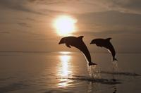 Bottlenose dolphins (Tursiops truncatus) jumping at sunset, Caribbean