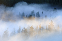 Mist over a Scots pine (Pinus sylvestris) / Norway spruce (Picea abies) forest at sunrise, near Yli-Kitka lake and Tolva village