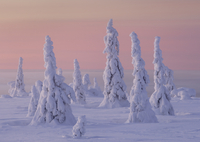 Norway spruce (Picea abies) forest covered by packed snow, Riisitunturi National Park, Finland, February 2006