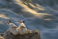 Two Northern gannets (Morus bassanus) sitting on sea stack, Langanes peninsula, Iceland, July