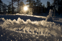 Sun low above the horizon shining through frost-covered grass in pine forest, Klaebu, Norway, January