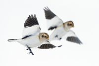 Two Snow buntings (Plectrophenax nivalis) in flight, Iceland, March