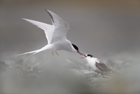Arctic tern (Sterna paradisaea) feeding young whilst hovering, Iceland August