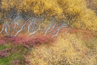 Autumn in the birch forest at Hraunfossar. Iceland.