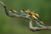 European bee eaters (Merops apiaster) perched on branch, Pusztaszer, Hungary, May