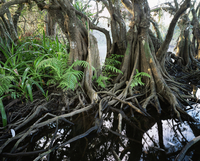 Anonilla, Crinum Lilies and ferns in the roots of a Mangrove, La Tovara Wetlands, San Blas, Mexico, Central America