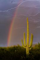 Saguaro Cactus (Carnegiea gigantea) against summer monsoon sky with rainbow. Sonoran Desert, near Tucson, Arizona, August 2012.