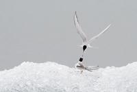 Arctic tern (Sterna paradisaea), adult feeding young. Jokulsarlon glacial lagoon. Iceland.August 2008