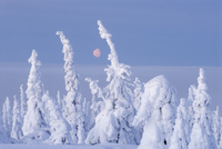 Winter landscape with snow-covered trees in forest, Riisitunturi National Park, Lapland, Finland, February 2007