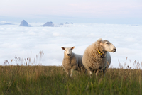 Sheep and lamb on the top of the Lundeura with sea fog and Tomma in the background, Helgeland, Nordland, Norway, July 2009