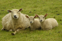 Sheep (Ovis aries) and two lambs resting Devon, UK