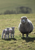 Domestic sheep, Poll Dorset ewe with twin lambs, The Marshwood Vale, Dorset, England, March